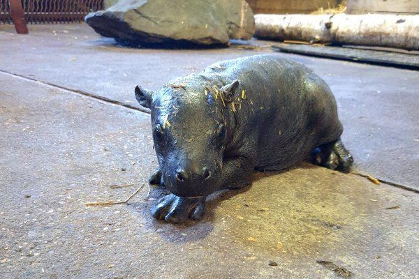 Southend Standard: Visitor will hopefully be able to see the zoo's new pygmy hippo in a few weeks