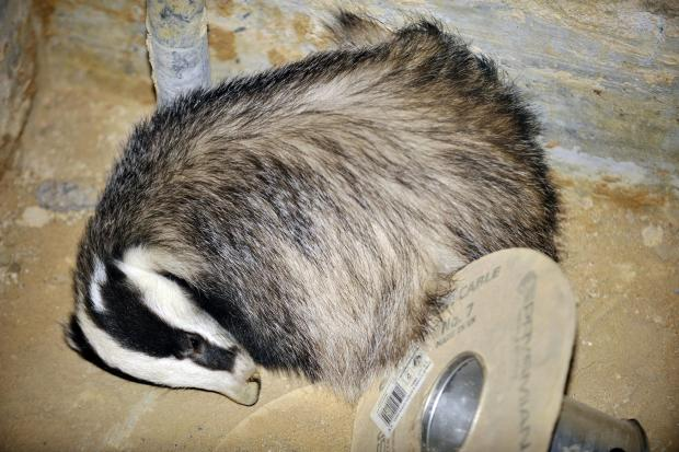 Rescuers create escape for sleepy badger