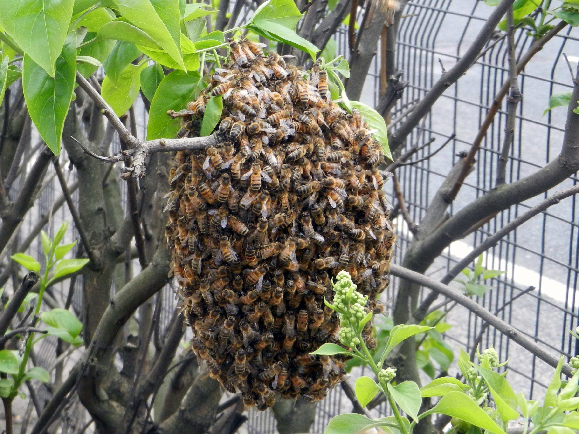 The bees swarming on Victoria Avenue