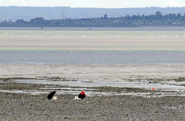 Oyster pickers on Southend foreshore