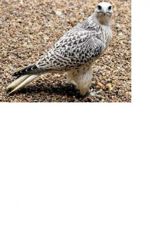 A gyr saker falcon, similar to the one that has gone missing from Marsh Farm