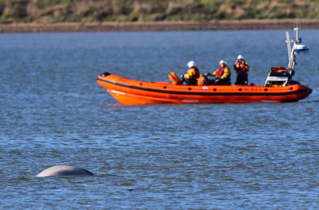 RNLI crew watch from their rib as a beluga whale swims in the Thames near Gravesend, Kent. PRESS ASSOCIATION Photo. Picture date: Wednesday September 26, 2018. The rare marine mammal was first seen on Tuesday afternoon and appeared to be